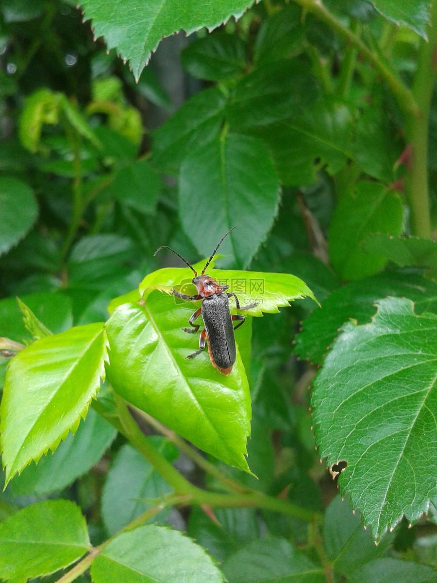 甲虫, 叶子, 昆虫, 春天, 绿色, 自然, 动物