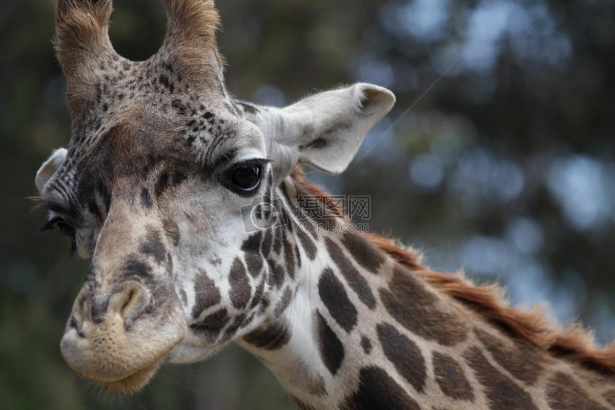 长颈鹿, 特写, 动物, 大
