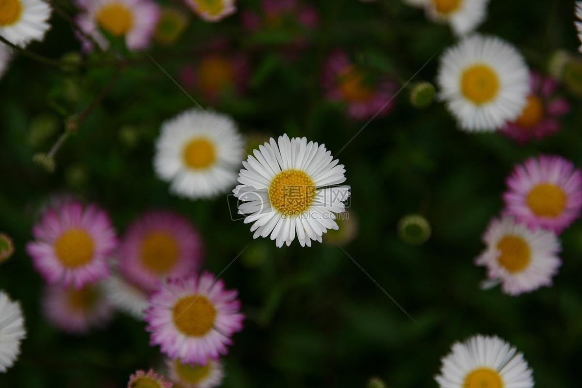 雏菊自然/风景免费下载_格式:jpg_大小:3072x2048像素