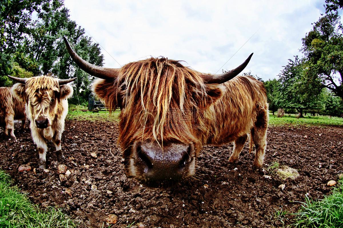 公牛动物免费下载_格式:jpg_大小:6000x4000像素_(:)