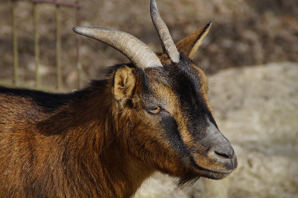 动物 山羊  找相似查看大图 山羊免费下载 哺乳动物家庭装饰角山羊头