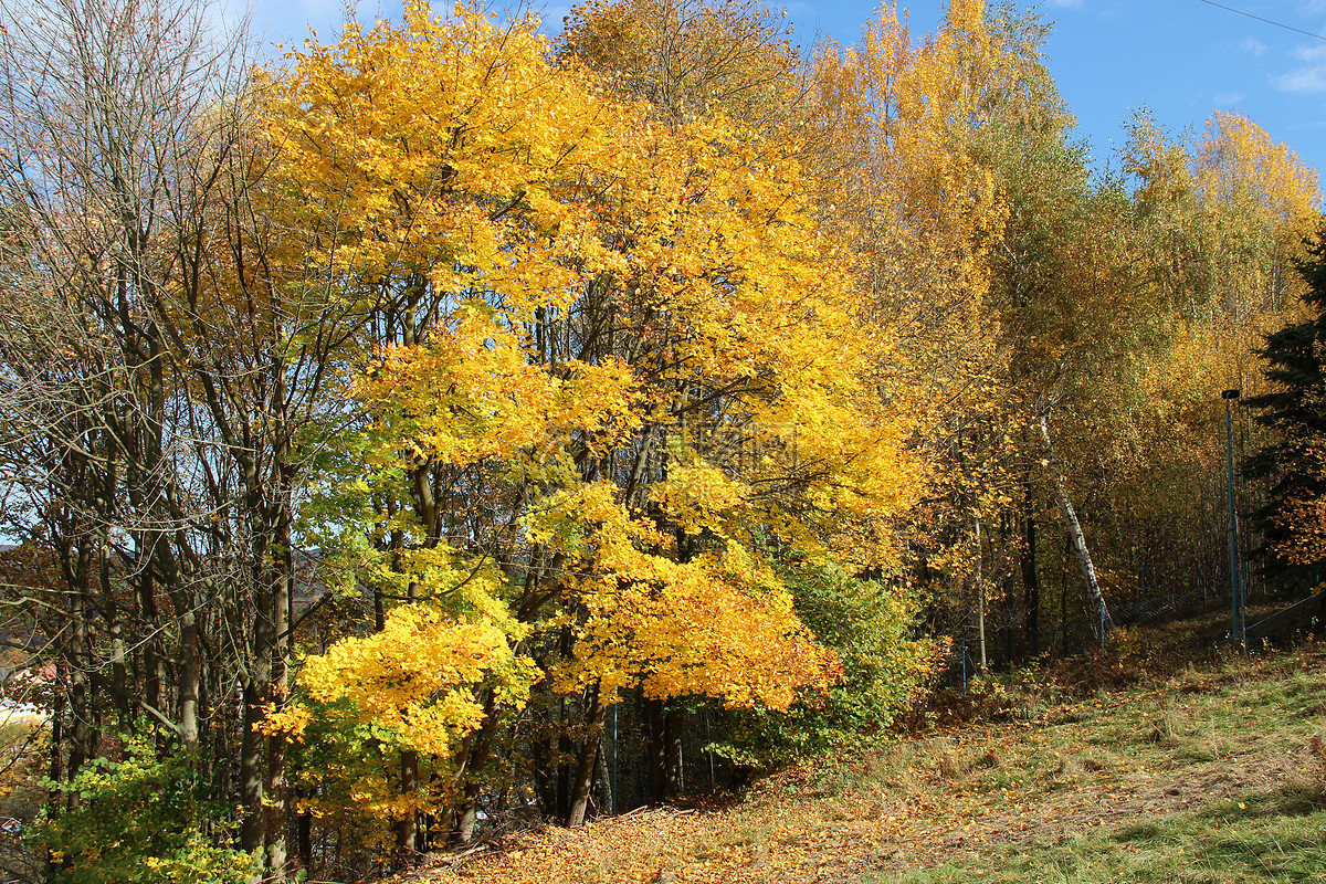 秋天里落叶的大树