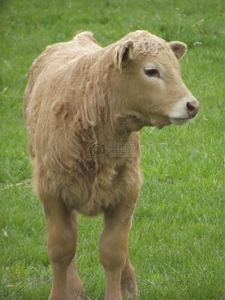 动物小牛的可爱图片