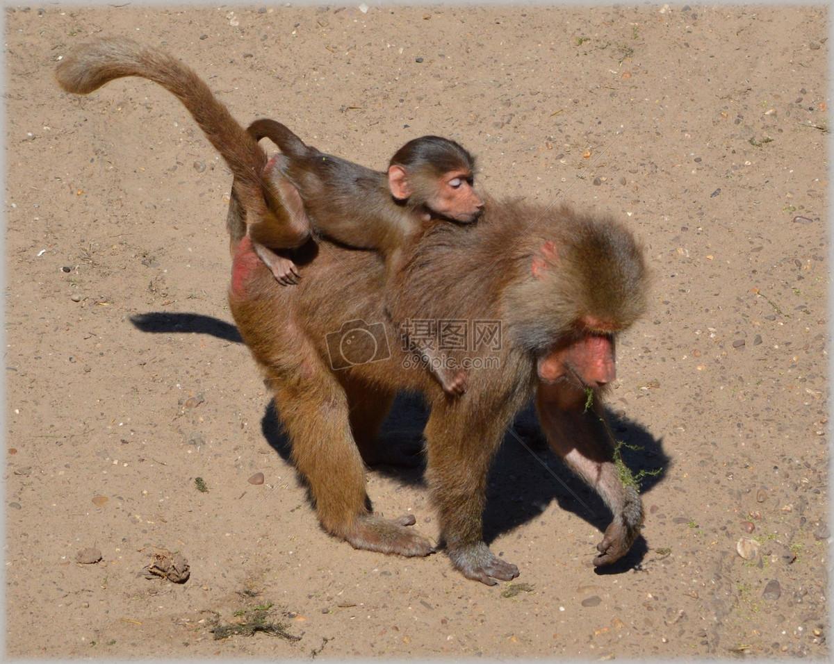 千图网提供精美好看的商用摄影图免费下载,本次图片作品是关于动植物图片素材,主题是狒狒,编号是21948638,格式是jpg,建议使用对应的软件打开,该动植物图片素材大小是779.036 KB,尺寸为1920x1529。 狒狒是由图片设计师 摄图网上传. 浏览本次作品的您可能还对 狒狒 动物园 系列