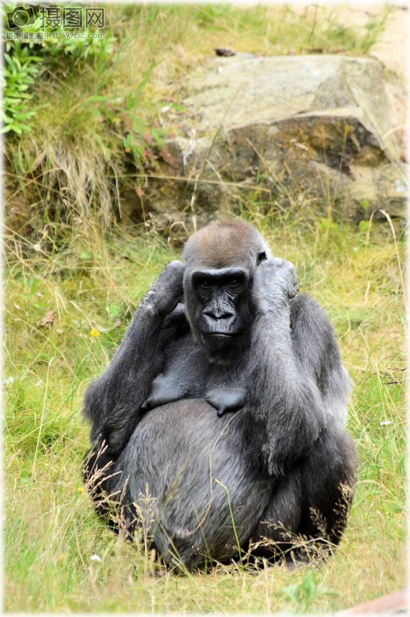大猩猩  动物园 系列 猴子