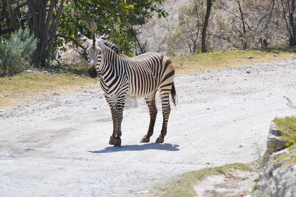 商用图库 自然/风景 斑马  找相似查看大图 斑马免费下载 斑马动物园