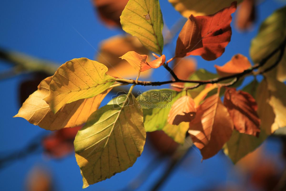 榉木免费下载 秋季秋天的落叶叶子