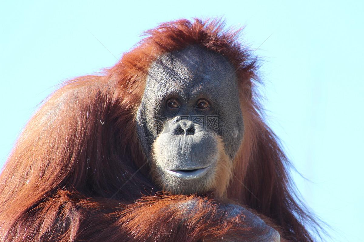 动物猩猩的图片