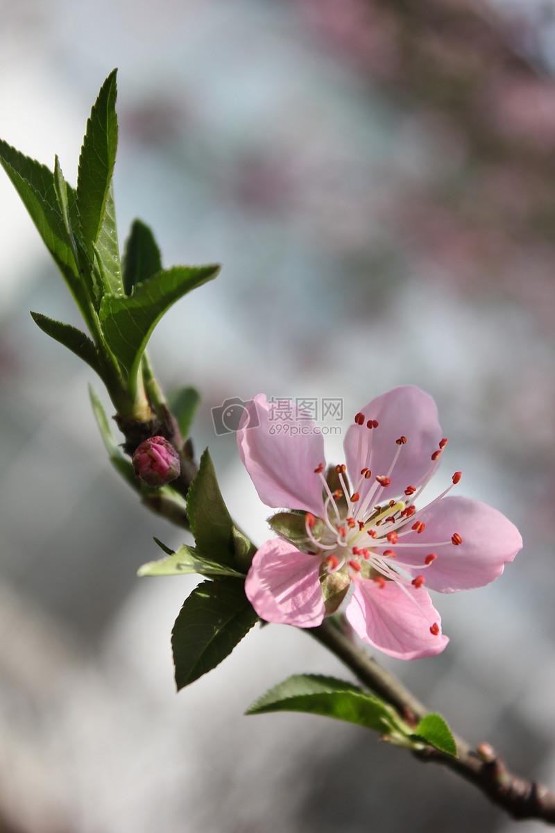 一朵美丽的桃花