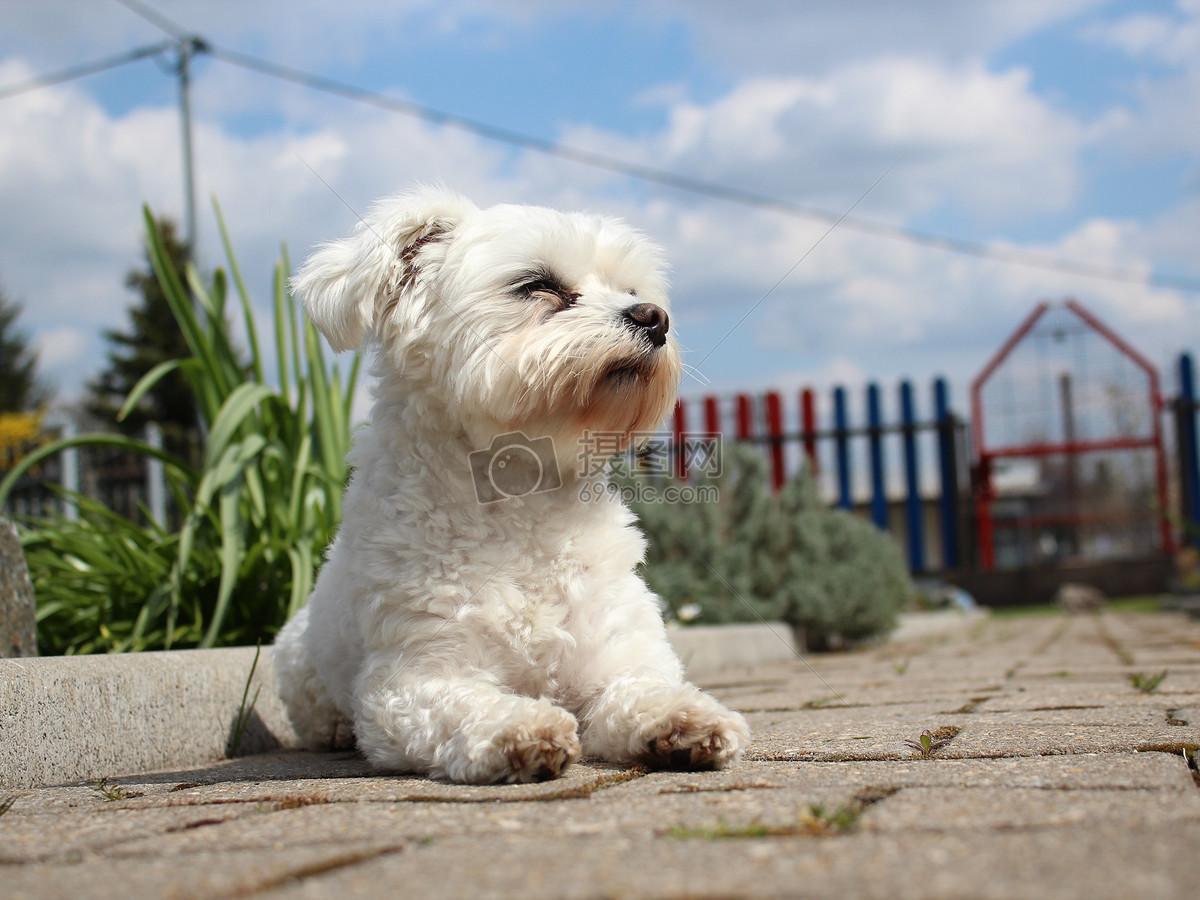 可爱的马尔济斯犬