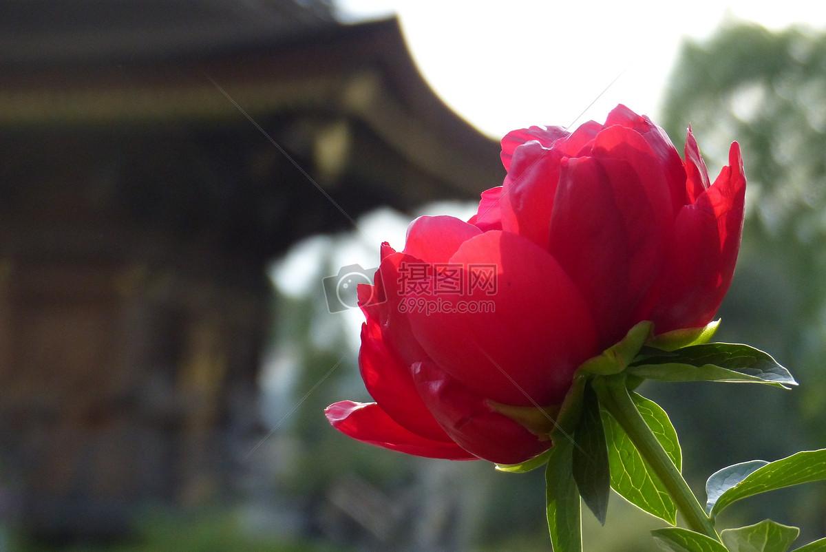 阳光下的红色花朵