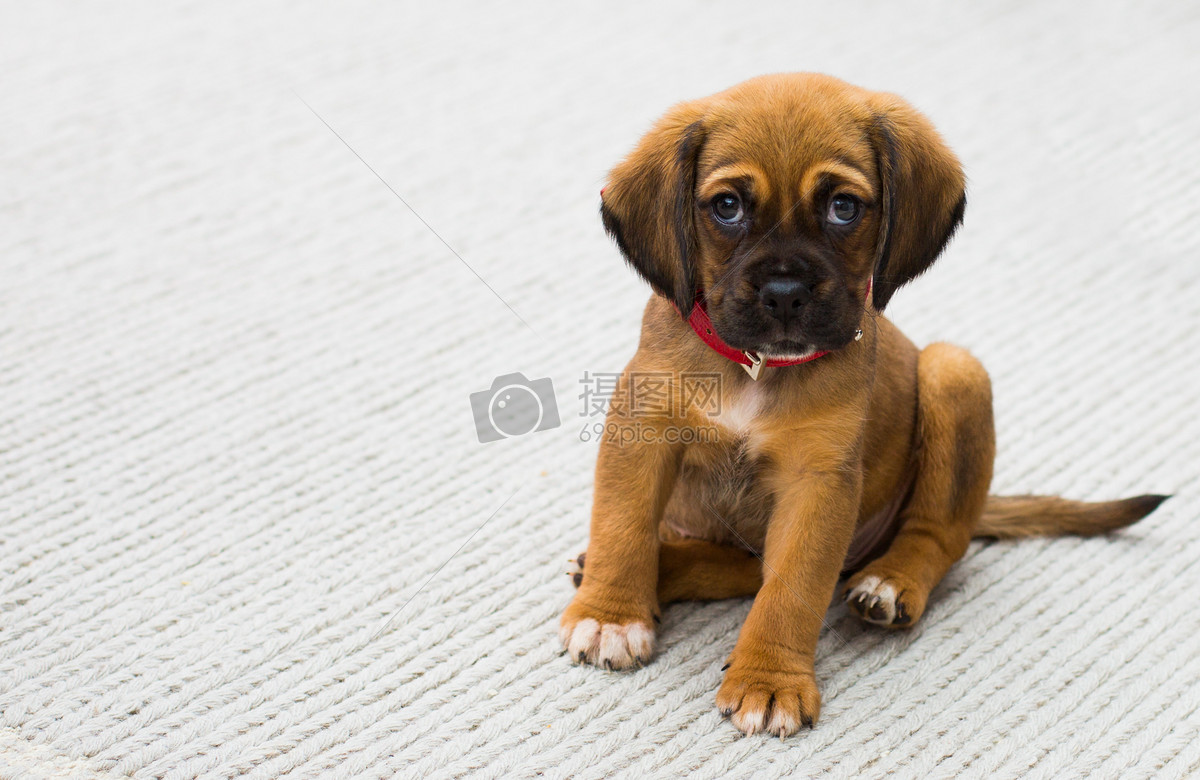 动物,狗,宠物,小狗,哈巴狗,可爱,动物,悲伤,眼睛,红色,衣领